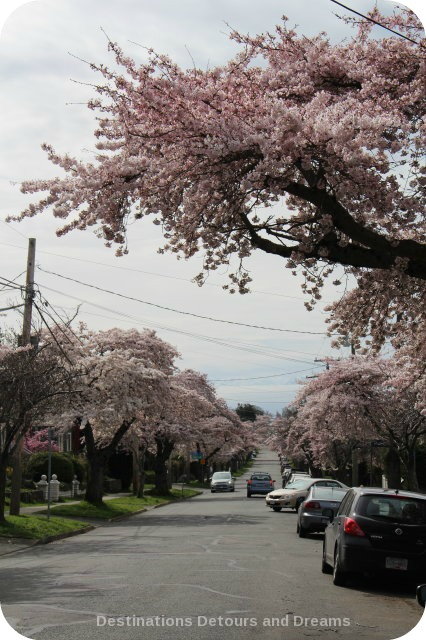 Cherry blossom time in The Garden City, Victoria, British Columbia