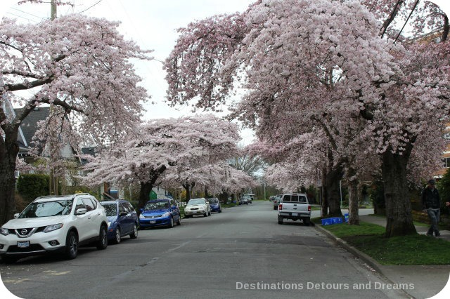 Cherry Blossom Time in The Garden City: Victoria, British Columbia