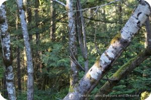 Scenery along the trail to the historic Kinsoh Trestle Bridge on Vancouver Island