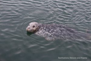 Sea otter at Fisherman's Wharf in Victoria, British Columbia