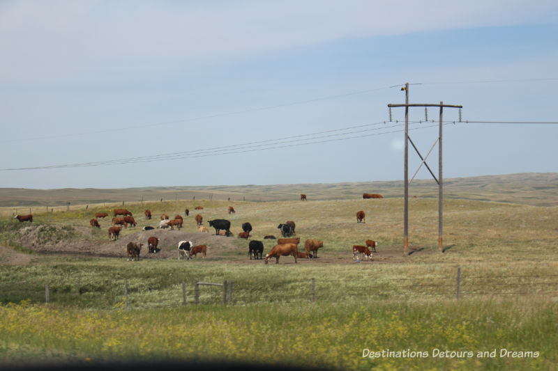 Canadian Prairie Summer Road Trip Photo Story: cattle