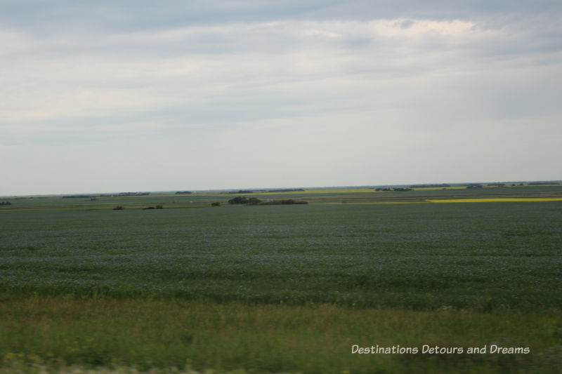 Canadian Prairie Summer Road Trip Photo Story: flax starting to turn blue