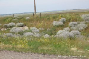 Canadian Prairie Summer Road Trip Photo Story: sage grass