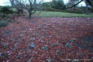 A field of cyclamen at RHS Garden Wisley in Surrey, England