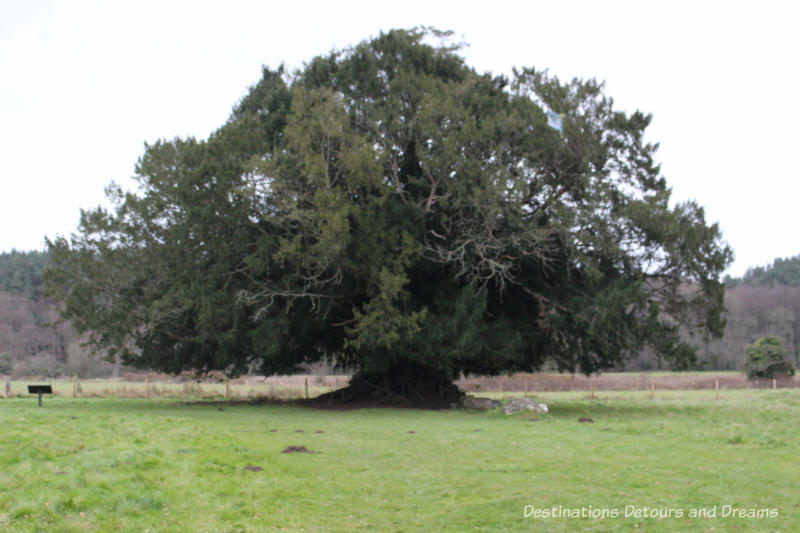 Old tree at The Otherworldly Ruins of Waverley Abbey, Britain's first Cistercian monastery, located in the Surrey countryside near Farnham