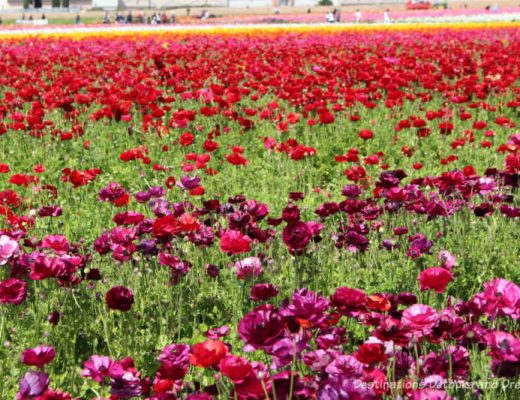 A field of plum, rose and red ranunculus in bloom at Carlsbad Ranch Flower Fields