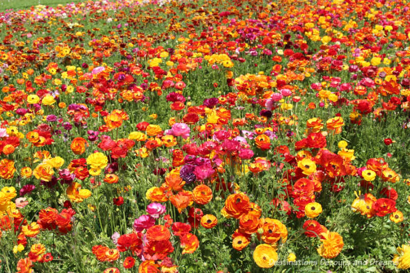 Ranunculus blooming at Carlsbad Ranch Flower Fields create a blaze of colour: yellow, orange, pink, red