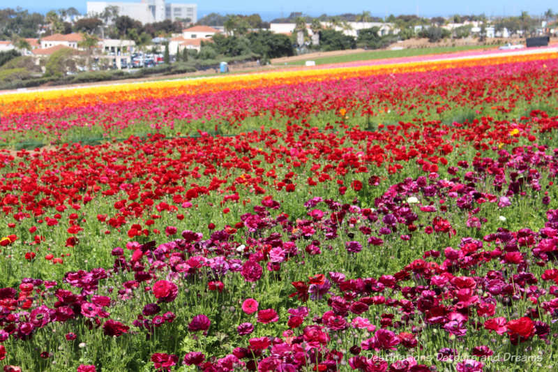 The multi-colour blooms of the ranunculus flowers at the Carlsbad Ranch Flower Fields with the city in the background