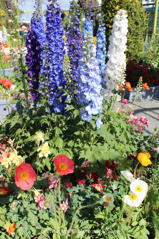 Delphiniums and poppies at Carlsbad Ranch Flower Fields