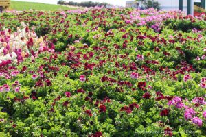 A display of red and pink flowers in the front area of Carlsbad Ranch Flower Fields