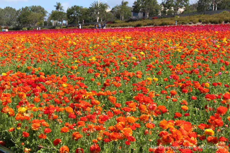 A field of orange ranunculus blooms at Carlsbad Ranch Flower Fields