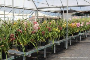 A collection of cymbidium orchids on tables inside the greenhouse at Carlsbad Ranch Flower Fields