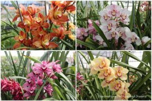 Different coloured cymbidium orchid blooms from the greenhouse at Carlsbad Ranch Flower Fields