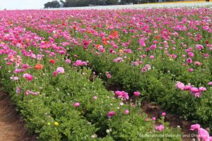 A field of pink ranunculus blooms at Carlsbad Ranch Flower Fields