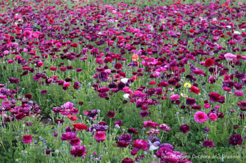 A field of plum-coloured ranunculus blooms at Carlsbad Ranch Flower Fields