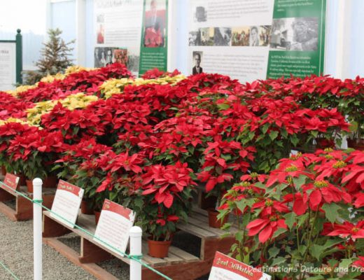 Display of poinsettia plants at Carlsbad Ranch Flower Fields