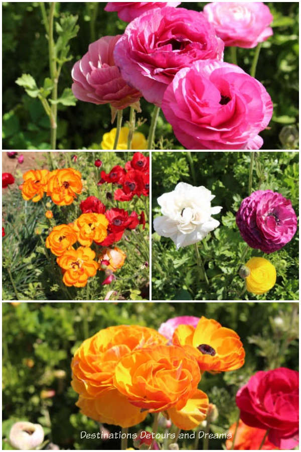 Different coloured ranunculus blooms