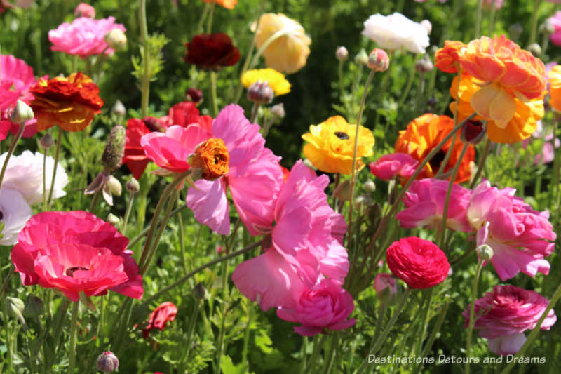 A selection of ranunculus blooms