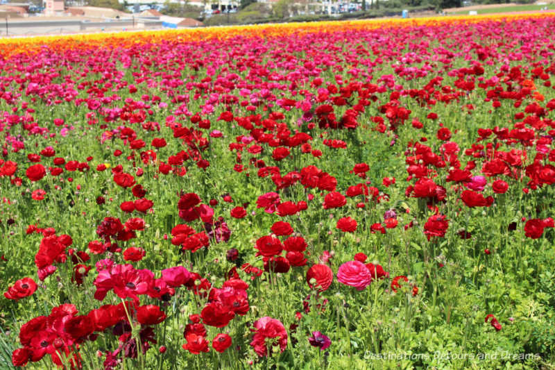 A field of red and rose ranunculus blooms at Carlsbad Ranch Flower Fields