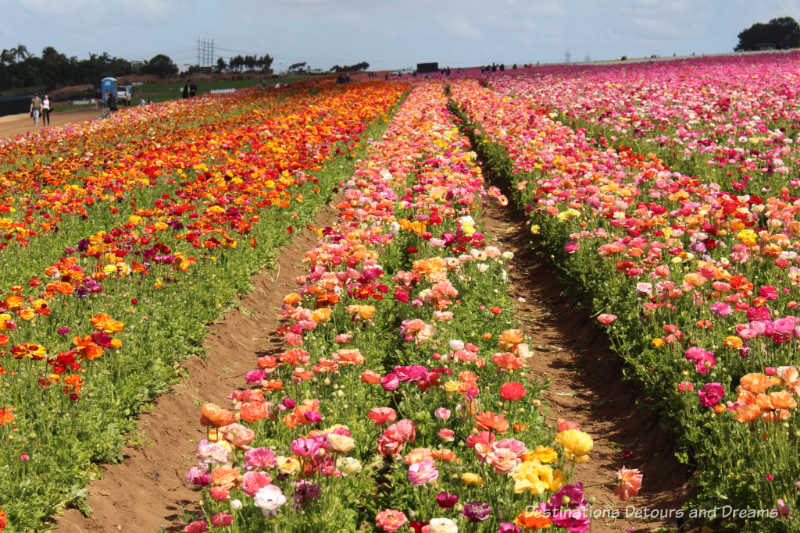 Rows of multi-coloured ranunculus blooms at Carlsbad Ranch Flower Fields