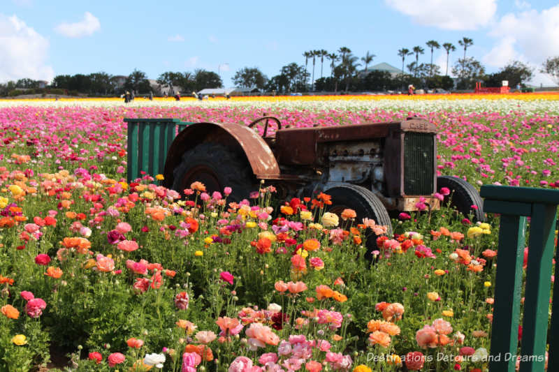 An old tractor in the ranunculus blooms at Carlsbad Ranch Flower Fields