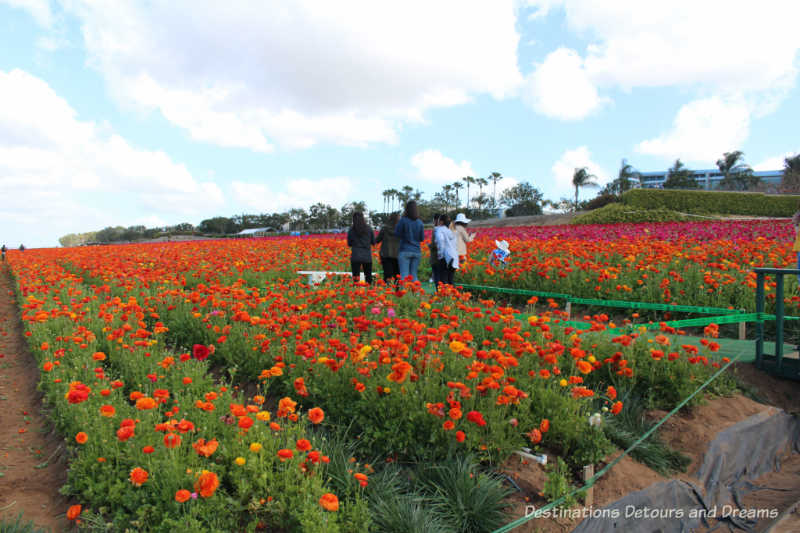 Workers cutting buds in the ranunculus fields at Carlsbad Ranch Flower Fields