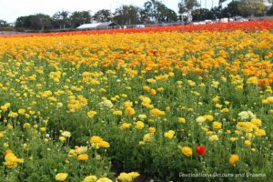 A field of yellow ranunculus blooms at Carlsbad Ranch Flower Fields