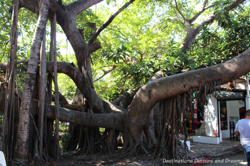 large banyon tree on Isla Cuale: Puerto Vallarta's Island Oasis