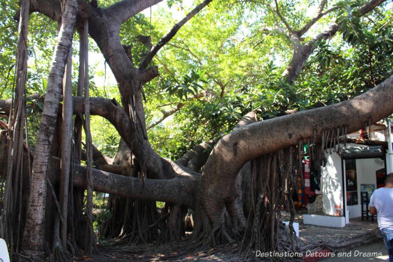 large banyon tree on Isla Cuale: Puerto Vallarta's Island Oasis
