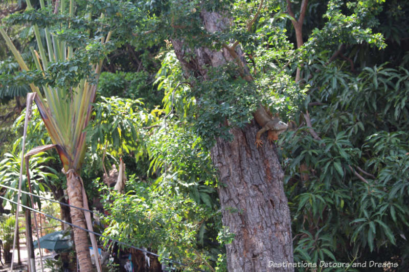 Iguana in the tree on Isla Cuale: Puerto Vallarta's Island Oasis