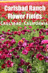 Colourful ranunculus flowers in bloom at Carlsbad Ranch Flower Fields, California