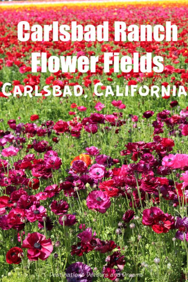 Colourful ranunculus flowers in bloom at Carlsbad Ranch Flower Fields, California #California #SanDiego #springflowers #ranunculus