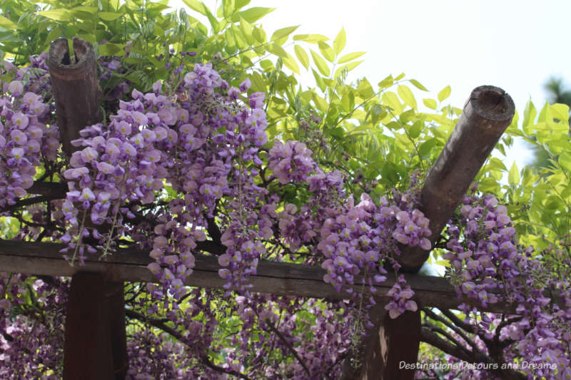 Wisteria on a pergola in the Japanese Friendship Garden