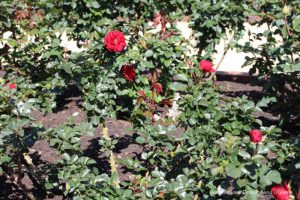 Red roses in bloom at Balboa Park