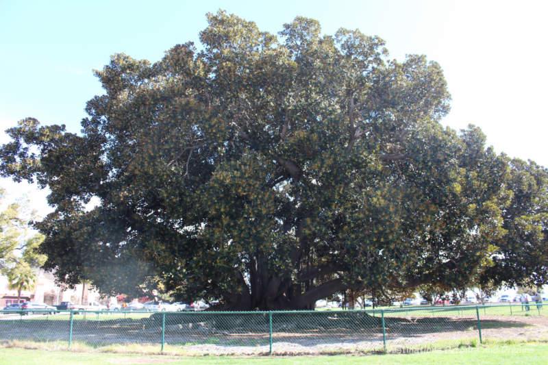 Moreton Bay fig tree in Balboa Park