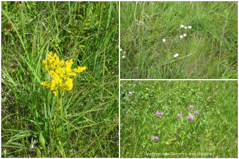 early August native plants bloomers at Living Prairie Museum in Winnipeg