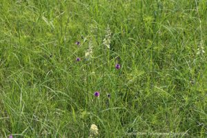 Flowers blooming in tall grass at Living Prairie Museum