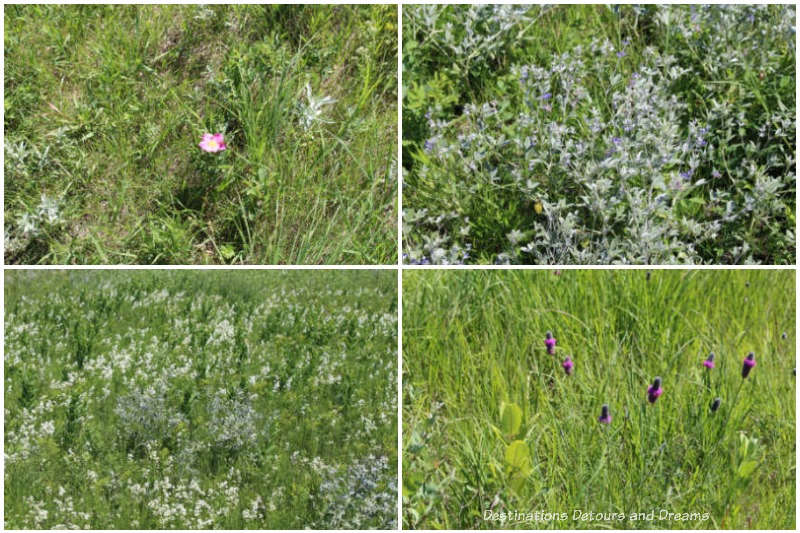 Early July native plants blooming at Living Prairie Museum in Winnipeg
