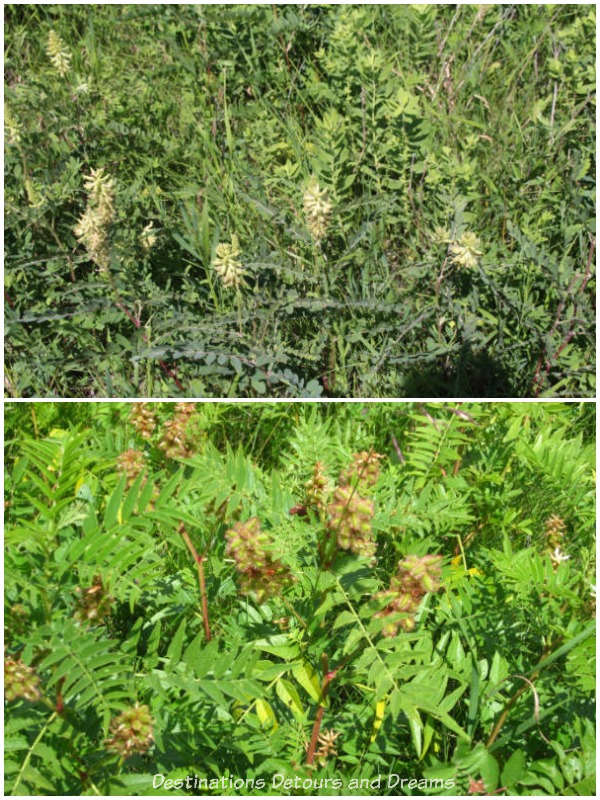 Wild licorice plants in early July and early August at Living Prairie Museum