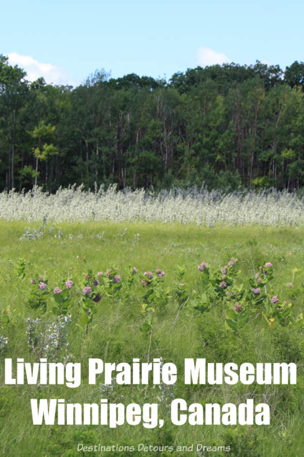 Exploring the endangered tall grass prairie ecosystem at the Living Prairie Museum in Winnipeg, Manitoba, Canada #prairie #Winnipeg #Manitoba #Canada #nativeplants