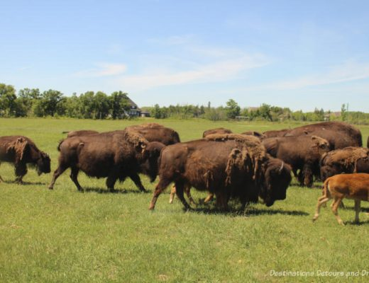 Bison Safari at FortWhyte Alive in Winnipeg, Manitoba