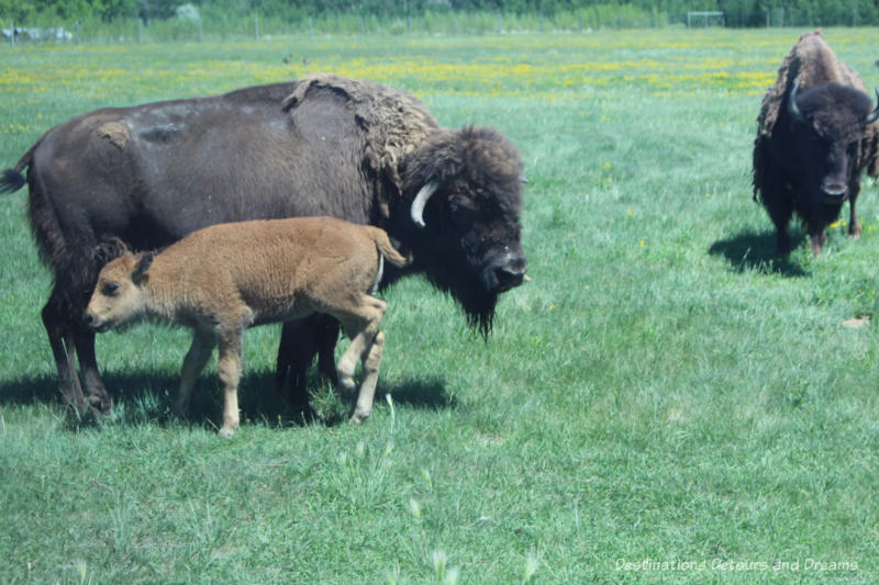 Bison and calf at FortWhyte Alive