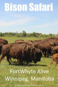 Bison safari at FortWhyte Alive in Winnipeg,Manitoba, Canada #Winnipeg #Manitoba #Canada #safari #bison