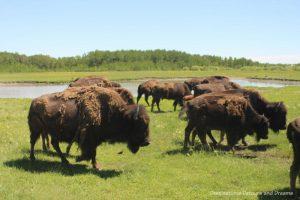 Bison shedding winter fur