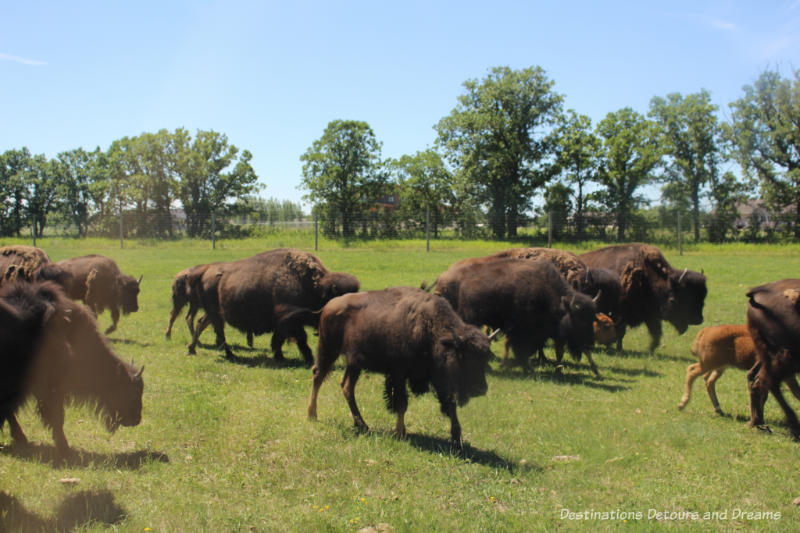 Bison moving at the bison safari at FortWhyte Alive
