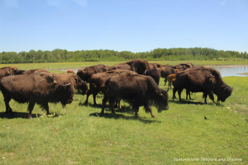 Bison on the move at FortWhyte Alive