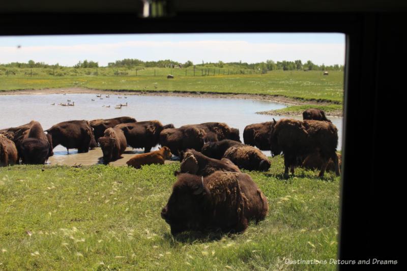 Bison gatherd near pond at FortWhyte Alive in Winnipeg Manitoba
