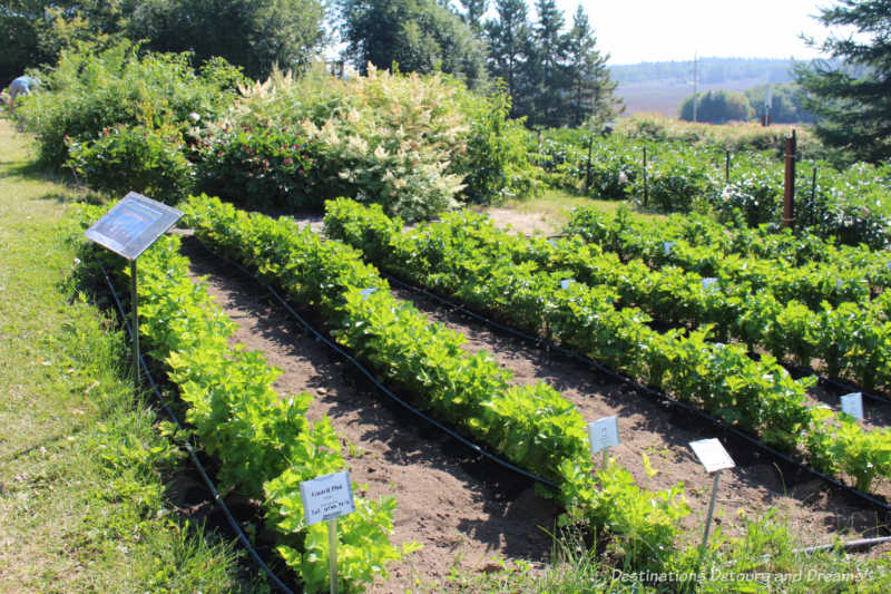 Vegetable plots at the Georgeson Botanical Garden in Fairbanks, Alaska