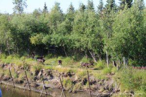 Caribou herd along the Chena River in Alaska