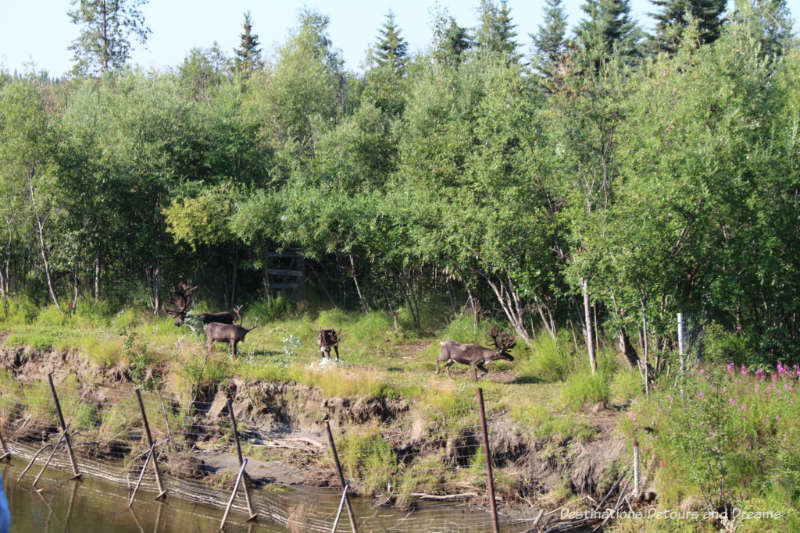 Caribou herd along the Chena River in Alaska